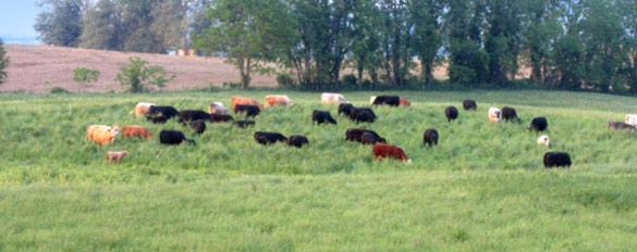 cows-grassy-field-slider