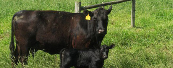 cows-withbaby-slider