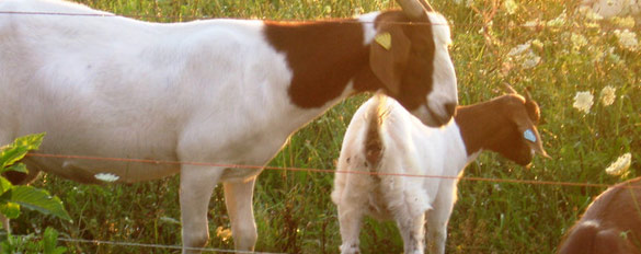 goats-slider