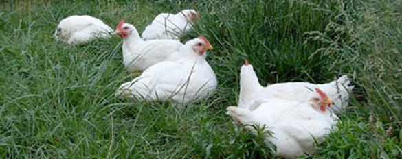 hens-slider