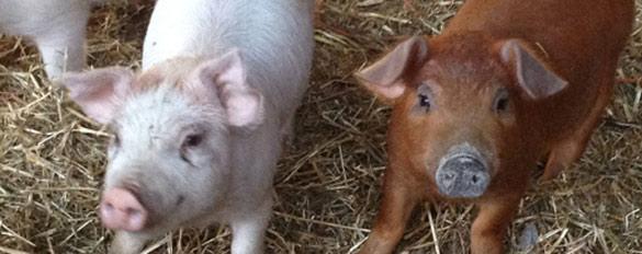 pigs-slider
